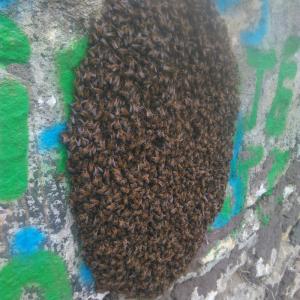 Un essaim d'abeilles sauvé à Bastide Niel